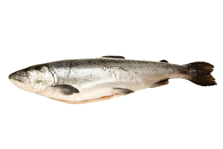 O salmão é um peixe mediano da família salmonidae, que também inclui as trutas. Peculiar aos mares e rios europeus, é muito procurado pela sua apreciadíssima carne rosada, muito saborosa. É criado em